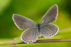 Eastern Tailed Blue Butterfly Stock Photography