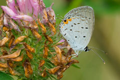 Eastern Tailed Blue Butterfly Royalty Free Stock Photos
