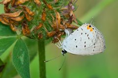 Eastern Tailed Blue Butterfly Royalty Free Stock Image