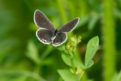 Eastern-tailed Blue Butterfly 3225 Stock Photos