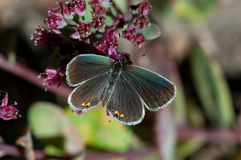Eastern-tailed Blue. Feeding on wildflowers royalty free stock photo