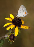 Eastern Tailed-Blue Hairstreak Royalty Free Stock Images