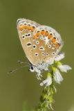 Eastern Tailed Blue Stock Images
