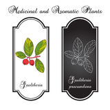 Eastern teaberry. (or checkerberry, or boxberry, or American wintergreen) - gaultheria procumbens - aromatic plant,  illustration Stock Photography