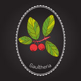 Eastern teaberry. (or checkerberry, or boxberry, or American wintergreen) - gaultheria procumbens - aromatic plant,  illustration Royalty Free Stock Photography