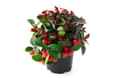 Eastern teaberry in a flowerpot on white isolated background. Plant is also known as checkerberry, boxberry and American wintergreen royalty free stock photography