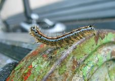 Eastern tent caterpillar Royalty Free Stock Photos