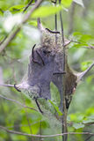 Eastern Tent Caterpillars Stock Image