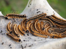 Eastern Tent Caterpillars Royalty Free Stock Photo