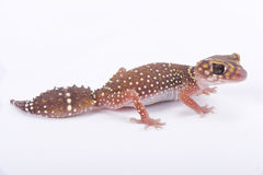 Eastern thick-tailed gecko, Underwoodisaurus husbandi. The Eastern thick-tailed gecko, Underwoodisaurus husbandi, is a heavily build gecko species endemic to Royalty Free Stock Photos