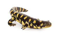 Eastern Tiger Salamander royalty free stock images