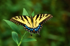 Eastern Tiger Swallowtail Stock Photography