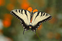 Free Eastern Tiger Swallowtail Stock Photos - 12723643