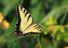 Eastern Tiger Swallowtail Stock Image