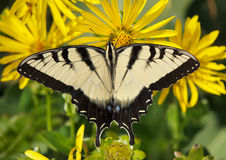 Free Eastern Tiger Swallowtail Stock Photos - 15316943