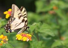 Eastern Tiger Swallowtail. Feeding on a Beautiful Yellow Flower royalty free stock photos