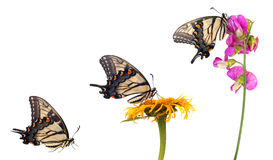 Free Eastern Tiger Swallowtail Stock Image - 20474731