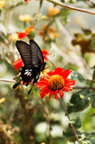 Eastern Tiger Swallowtail. In Pokhara Nepal Stock Image