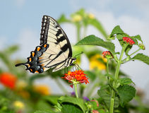 Free Eastern Tiger Swallowtail Stock Image - 7173921