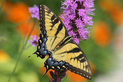Free Eastern Tiger Swallowtail Royalty Free Stock Photo - 8206115
