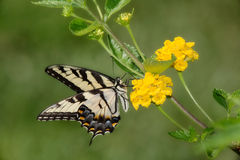 Free Eastern Tiger Swallowtail Royalty Free Stock Image - 8521796