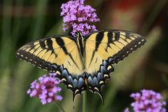 Free Eastern Tiger Swallowtail Stock Photography - 9279262