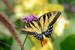Free Eastern Tiger Swallowtail Royalty Free Stock Photos - 9354318