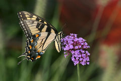 Free Eastern Tiger Swallowtail Royalty Free Stock Photo - 9366905