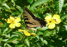 Eastern Tiger Swallowtail on Buttercup. An eastern tiger swallowtail butterfly is feeding on a buttercup plant, with a skipper in the background Stock Photo
