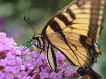Eastern tiger swallowtail butterfly. (papilio glaucus) in garden in the summer stock photos