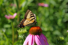 Eastern Tiger Swallowtail Butterfly. Papilio glaucus on cone-flower in morning sunlight Royalty Free Stock Image
