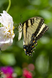 Eastern tiger swallowtail butterfly. The Eastern Tiger Swallowtail (Papilio glaucus) is a common swallowtail butterfly of eastern North America royalty free stock image