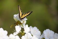Eastern tiger swallowtail butterfly on azalea bloom. Eastern tiger swallowtail butterfly feeds on white azalea bloom royalty free stock photo