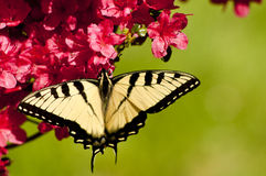 Eastern Tiger Swallowtail Butterfly on Azaleas Stock Image