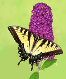 Eastern Tiger Swallowtail Butterfly Royalty Free Stock Photos