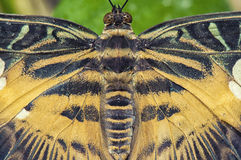 Eastern tiger swallowtail butterfly detail Royalty Free Stock Image
