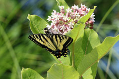 Eastern Tiger Swallowtail Butterfly. Easter Tiger Swallowtail eating from a milkweed plant, and a bumble bee too royalty free stock photography