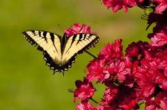 Eastern Tiger Swallowtail Butterfly feeding on red Azalea. Royalty Free Stock Photo