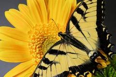 Eastern tiger swallowtail Butterfly. An eastern tiger swallowtail on a flower Stock Images
