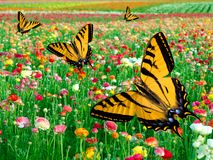 Eastern Tiger Swallowtail Butterfly ~ Flower Field. Eastern Tiger Swallowtail Butterfly ~ Flying In Multi Colored Ranunculus Flower Fields Royalty Free Stock Photo