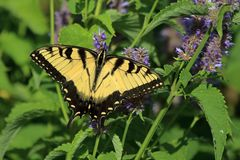 Eastern Tiger Swallowtail Butterfly. A large yellow Eastern Tiger Swallowtail Butterfly feeds on Anise Hyssop flowers in my herb garden stock photos