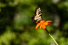 An Eastern Tiger Swallowtail butterfly on an orange flower. stock photo