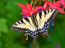 Eastern Tiger Swallowtail Butterfly (Papilio glaucus) Stock Image