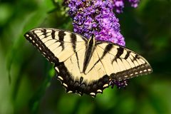 Eastern Tiger Swallowtail Butterfly - Papilio glaucus. Eastern Tiger Swallowtail Butterfly collecting nectar from a purple Butterfly Bush flower. Rosetta McClain stock photos