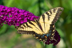 Eastern Tiger Swallowtail Butterfly - Papilio glaucus. Eastern Tiger Swallowtail Butterfly collecting nectar from a purple Butterfly Bush flower. Rosetta McClain stock image