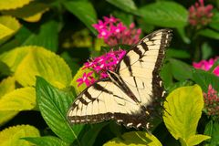 Eastern Tiger Swallowtail Butterfly - Papilio glaucus. Eastern Tiger Swallowtail Butterfly collecting nectar from a purple Butterfly Bush flower. Rosetta McClain royalty free stock image