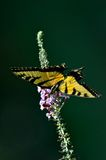 Eastern Tiger Swallowtail butterfly Royalty Free Stock Photography