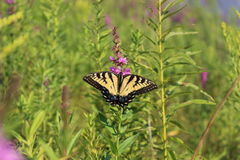 Eastern Tiger Swallowtail Butterfly. A Tiger Swallowtail Butterfly (Papilio glaucus) in the morning sun stock image