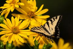 Eastern Tiger Swallowtail Butterfly - Papilio glaucus. Eastern Tiger Swallowtail Butterfly perched on a yellow Cup Flower. Don Valley Brickworks Park, Toronto stock image