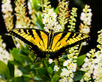 Eastern Tiger Swallowtail Butterfly. The Eastern tiger swallowtail (Papilio glaucus) is a species of swallowtail butterfly native to Eastern North America. It is Stock Photography